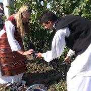Ruma: Berba grožđa u Poljoprivrednoj školi