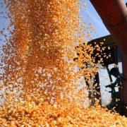 Sremska Mitrovica: Raspisan oglas za prodaju merkantilnog kukuruza