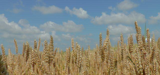 Ruma: Licitacija poljoprivrednog zemljišta u državnoj svojini od 24.do 30.novembra