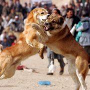 Stara Pazova: Organizovali borbu pasa, policija ih uhvatila