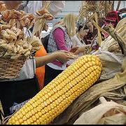 Kurzovina fest: Manifestacija posvećena najznačajnoj poljoprivrednoj kulturi u Sremu
