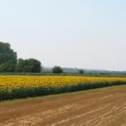 Inđija: Uskoro drugi krug licitacije za davanje u zakup poljoprivrednog zemljišta