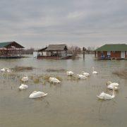 Pridružite se brojanju vodenih ptica u Sremu