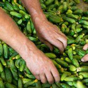 Širi se proizvodnja kornišona u Mitrovici