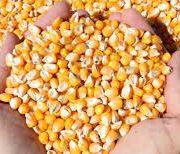 Ne treba žuriti sa setvom kukuruza