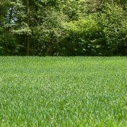 Aktuelna suša može uticati na prinos i kvalitet pšenice