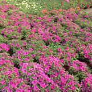 Proizvodnja i prodaja cveća bi mogla zauzeti značajno mesto u privredi