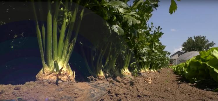 Celer – profitabilna biljna vrsta (VIDEO)