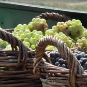 Banoštorski dani grožđa se ove godine drugačije obeležavaju (VIDEO)