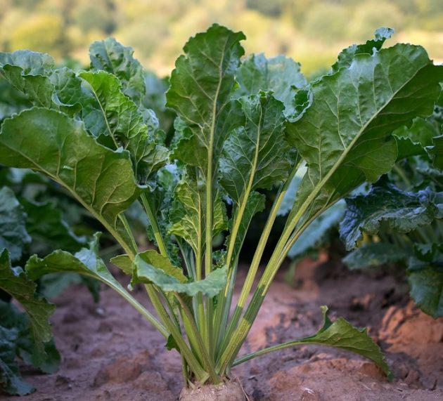 Neophodna pravovremena zaštita šećerne repe