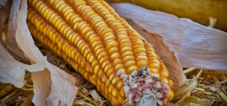 Otkupna cena kukuruza veća od 18 dinara za kilogram