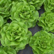 Sezona zelene salate u sremskim plastenicima