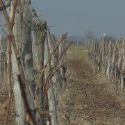 Rezidba iriških vinograda (VIDEO)