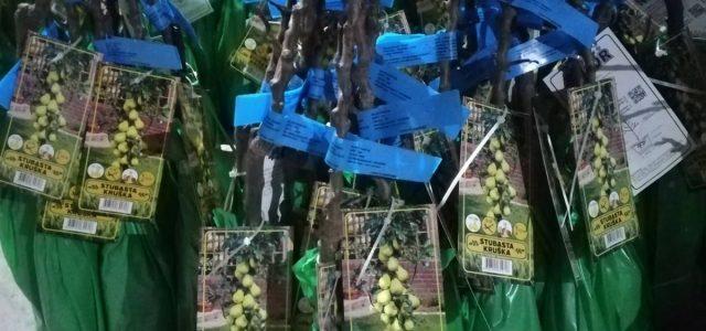 U Sremu sve zastupljenija proizvodnja sadnica ruža (VIDEO)
