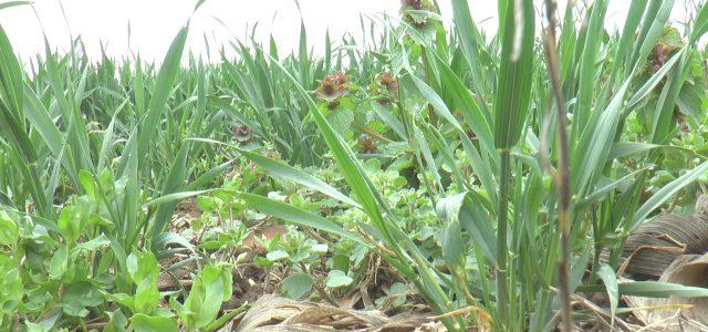 Nema bolesti na usevu pšenice
