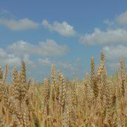 Inđija: Skidanje pšenice sa 123 ha uzurpiranog poljoprovrednog zemljišta