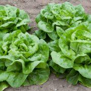 Plastenička proizvodnja: Zelena salata ne može da se proda