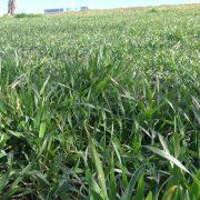 Stanje pšenice na sremskim poljima redovno – obratiti pažnju na glodare