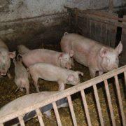 Novi pravilnik o uslovima i načinu ostvarivanja prava na podsticaje u stočarstvu
