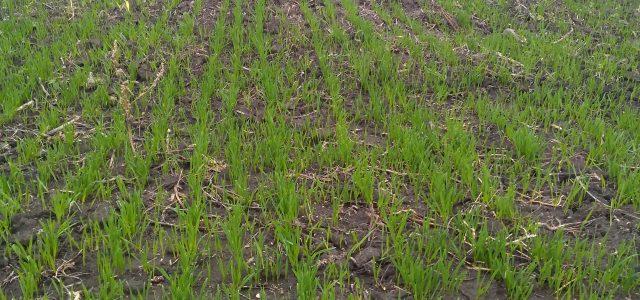 U Opštini Ruma oko 10.000 ha pod pšenicom