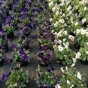 Proizvodnja i prodaja cveća čak i u vanrednom stanju (video)