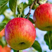 Počinju pripreme za berbu jabuka