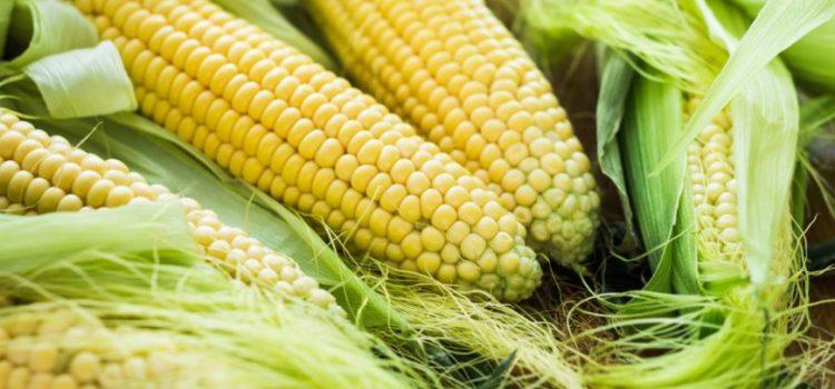 Gajenje kukuruza šećerca u Sremu je unosan psao