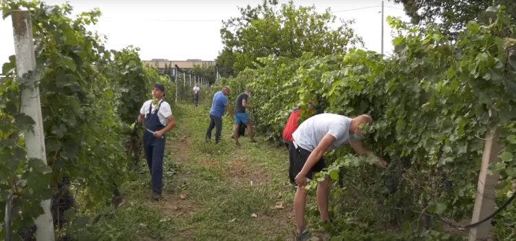 U jedinstvenom vinogradu u Sremu počele pripreme pred berbu (VIDEO)