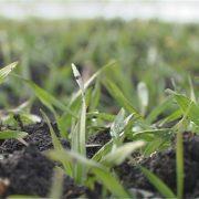 Pšenica u dobrom stanju, ali postoji opasnost od glodara