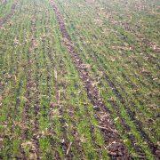 Počele pripreme za prvu prihranu ječma i pšenice