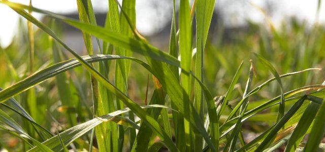 Žutilo na usevima pšenice u Sremu ne treba da brine poljoprivrednike