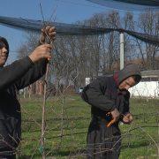 Zimsko orezivanje jabuke u rumskoj poljoprivrednoj školi (VIDEO)